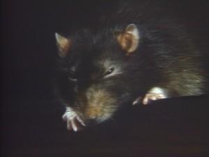 Prostě krysa.